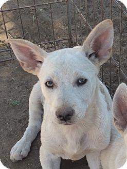 German Shepherd Dog Mix Dog for adoption in Winchester, California - Anna