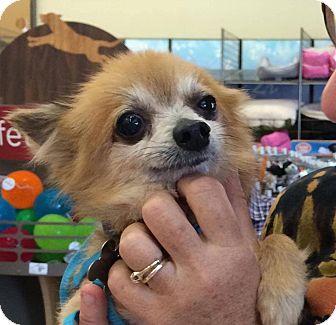 Pomeranian Mix Dog for adoption in Miami, Florida - Biggie