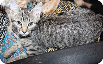 Domestic Shorthair Kitten for adoption in North Highlands, California - Padame