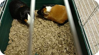 Guinea Pig for adoption in Troy, Ohio - Jake