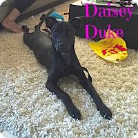 Adopt A Pet :: Daisey Duke (Courtesy Listing) - Scottsdale, AZ
