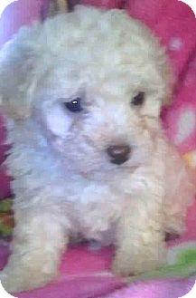 Poodle (Miniature)/Maltese Mix Puppy for adoption in Boulder, Colorado - Ari-ADOPTION PENDING
