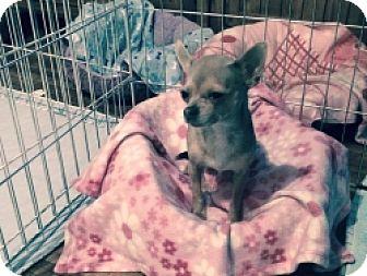 Chihuahua Mix Dog for adoption in Mesa, Arizona - Sedona