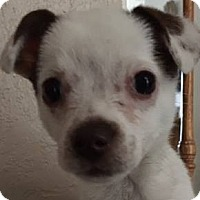 Adopt A Pet :: Piper - Henderson, NV