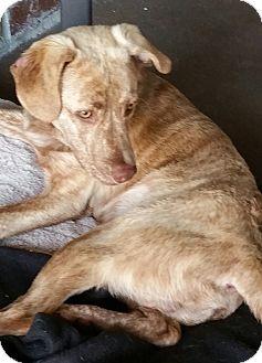 Catahoula Leopard Dog/Labrador Retriever Mix Puppy for adoption in Sumter, South Carolina - Nyles