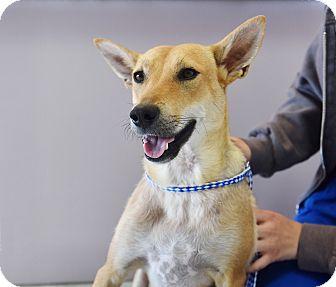 Basenji/Terrier (Unknown Type, Medium) Mix Dog for adoption in San Diego, California - Florence