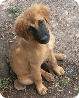 Golden Retriever/Black Mouth Cur Mix Puppy for adoption in East Hartford, Connecticut - Roxy
