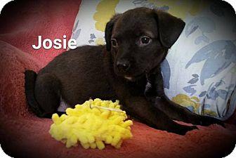 Border Collie Mix Puppy for adoption in WESTMINSTER, Maryland - Josie