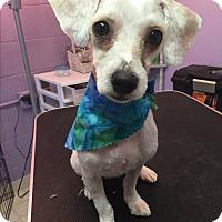 Adopt A Pet :: Archie - Fredericksburg, VA