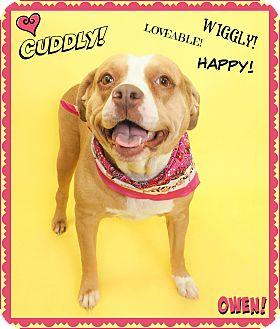 American Pit Bull Terrier/Labrador Retriever Mix Dog for adoption in Phoenix, Arizona - Owen