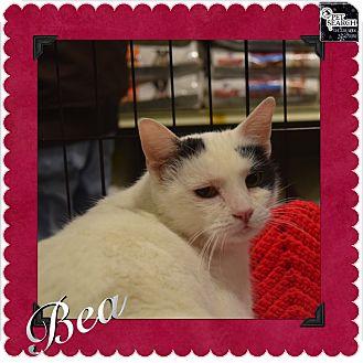 Domestic Shorthair Cat for adoption in Washington, Pennsylvania - Bea