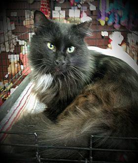 Persian Cat for adoption in Fairborn, Ohio - Charlie