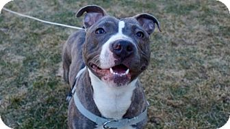 American Staffordshire Terrier/Pit Bull Terrier Mix Dog for adoption in Villa Park, Illinois - Bailey
