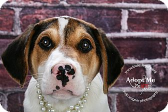 Australian Shepherd/Hound (Unknown Type) Mix Puppy for adoption in Cincinnati, Ohio - Moonstone