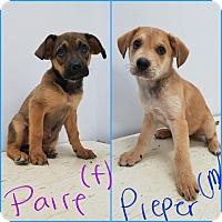 Adopt A Pet :: Shep lab 2 - Pompton Lakes, NJ