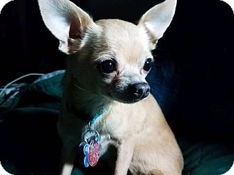 Chihuahua Mix Dog for adoption in Ashville, Ohio - Tobie