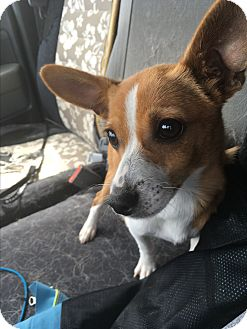 Terrier (Unknown Type, Small) Mix Puppy for adoption in Davis, California - Rocket