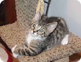 Manx Kitten for adoption in Tampa, Florida - Minos