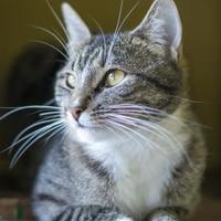 Domestic Shorthair/Domestic Shorthair Mix Cat for adoption in West Des Moines, Iowa - Toes