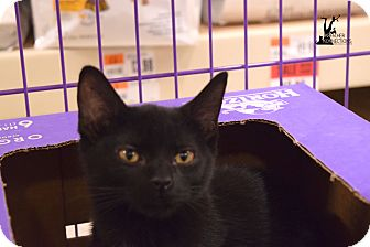 Domestic Shorthair Kitten for adoption in Flushing, Michigan - Shadow