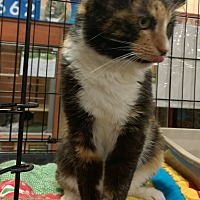 Domestic Shorthair Cat for adoption in Lexington, Kentucky - Funny Face