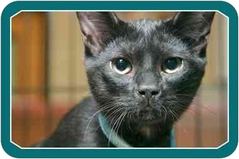 Domestic Shorthair Kitten for adoption in Sterling Heights, Michigan - Jynx - ADOPTED!