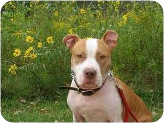 American Pit Bull Terrier Dog for adoption in Vernon Hills, Illinois - Ruby