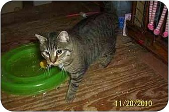 Domestic Shorthair Kitten for adoption in Chapman Mills, Ottawa, Ontario - FATIMA