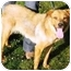 Photo 1 - Golden Retriever/Labrador Retriever Mix Dog for adoption in Osseo, Minnesota - Daisy