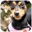 Photo 1 - Manchester Terrier Dog for adoption in Long Beach, New York - Roxy