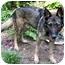 Photo 2 - German Shepherd Dog/German Shepherd Dog Mix Dog for adoption in Baltimore, Maryland - Ranger