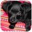 Photo 2 - Poodle (Miniature)/Chihuahua Mix Puppy for adoption in El Segundo, California - Raider