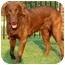 Photo 3 - Labrador Retriever Dog for adoption in Pawling, New York - DAISY