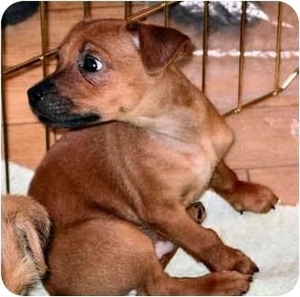 Miniature Pinscher/Terrier (Unknown Type, Medium) Mix Puppy for adoption in House Springs, Missouri - Mike