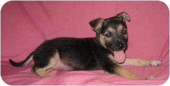German Shepherd Dog/Labrador Retriever Mix Puppy for adoption in Hammonton, New Jersey - Mickey