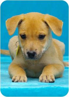 Labrador Retriever/Golden Retriever Mix Puppy for adoption in Westminster, Colorado - MAVERICK