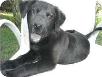 Labrador Retriever/Chow Chow Mix Puppy for adoption in Brooksville, Florida - BLUE BEAR