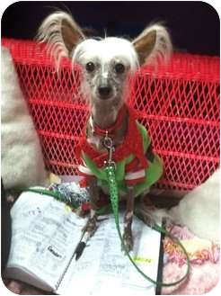 Chinese Crested Dog for adoption in Palm Harbor, Florida - Dotty