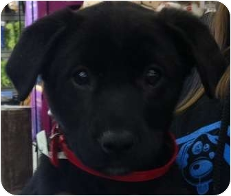 Labrador Retriever/Retriever (Unknown Type) Mix Puppy for adoption in Plainfield, Illinois - Aaliyah