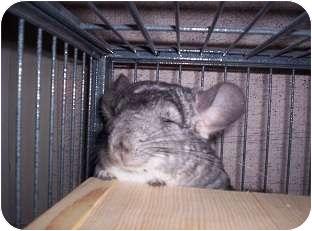 Chinchilla for adoption in Avondale, Louisiana - Chi Chi