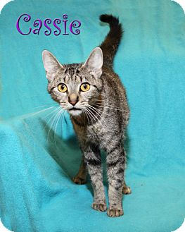 American Shorthair Cat for adoption in Albert Lea, Minnesota - Cassie