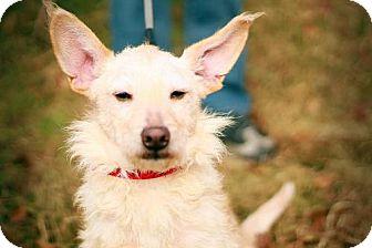 Scottie, Scottish Terrier/Wirehaired Fox Terrier Mix Dog for adoption in Marietta, Georgia - Mary Jane