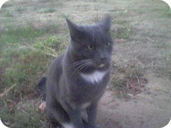 Domestic Shorthair Cat for adoption in Bellflower, California - Socks