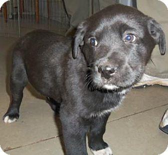 Labrador Retriever/Labrador Retriever Mix Puppy for adoption in Cleveland, Georgia - Bobby