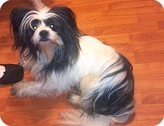 Papillon Puppy for adoption in Hazard, Kentucky - Sammy