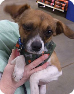 Chihuahua/Beagle Mix Dog for adoption in Georgetown, Kentucky - Dudley