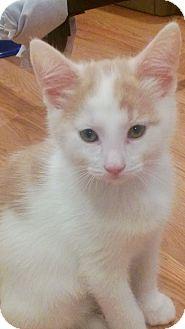 Domestic Shorthair Kitten for adoption in Speonk, New York - Bernie