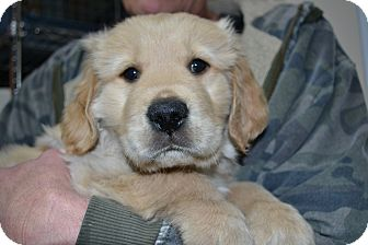 Golden Retriever Puppy for adoption in Mt Sterling, Kentucky - Winston - ADOPTION PENDING