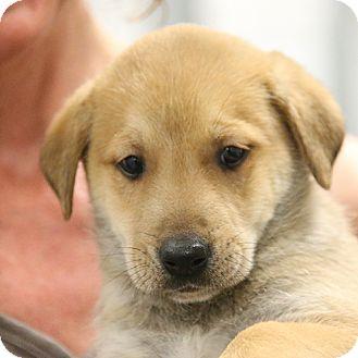 Shepherd (Unknown Type) Mix Puppy for adoption in Sacramento, California - Gracious' Boys!
