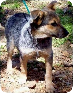 Australian Cattle Dog Mix Puppy for adoption in Tahlequah, Oklahoma - Harriet